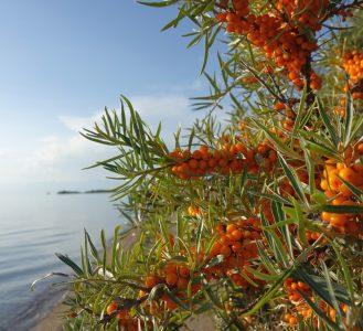 Sea buckthorn. Issyk-Kul Lake 1608 m. Kyrgyzstan.