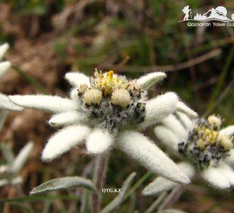 Leontopodium ochroleucum Beauverd (Эдельвейс бледно-жёлтый). The Big Almaty gorge. Kazakhstan.