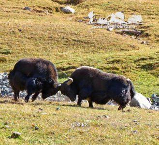 Battle of yaks. Lake Song — Kohl 3013 m. Kyrgyzstan.